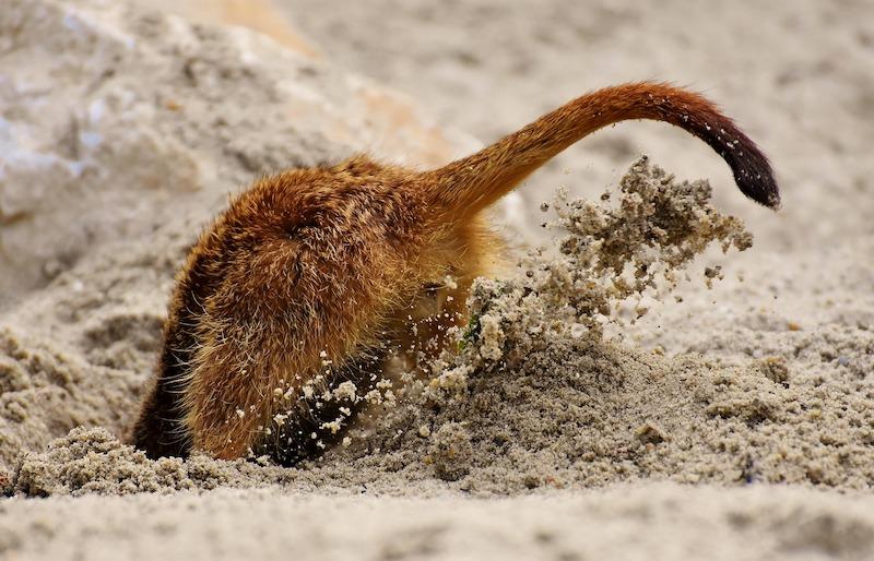 meerkat hiding from impromptu speech topics